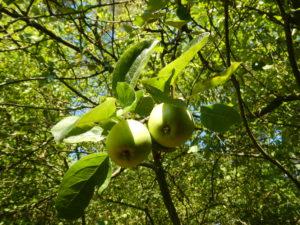 Apfelbaum 2015