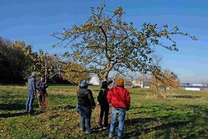 Der richtige Obstbaumschnitt am Altbaum ist sehr wichtig!