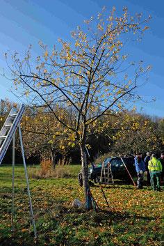 Ein richtiger Obstbaumschnitt an Altbäumen ist sehr wichtig!