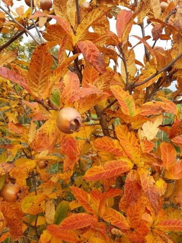 Mispel in ihrem Herbstkleid